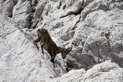 Rif. Corsi - F.lla Riofreddo Ago 2013 - 49 (Cristiano De March) Tags: mountain alps animal animals alpi montagna animali animale camosci alpigiulie cristianodemarch