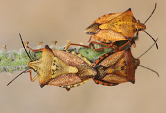 Red Shieldbugs (Wild Chroma) Tags: spain pair insects mating shieldbug carpocoris carpocorismediterraneus mediterraneus
