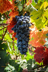 on the vine (Aaron_Smith_Wolfe_Photography) Tags: california sonora grapes napavalley vinyard
