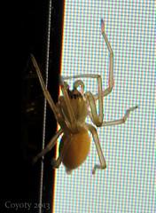 Late Night Visitor (Coyoty) Tags: animal spider arachnid monitor guest visitor animalplanet afterdark arthropod