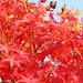 Japanischer Zierahorn / Edelahorn (Acer palmatum/Acer japonicum) | Herbst/Autumn| 13.10.2013