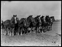 Team of draught horses (State Records SA) Tags: horses blackandwhite photography australia historical southaustralia frankhurley srsa staterecords staterecordsofsouthaustralia staterecordsofsa