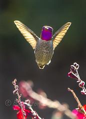 Back off (Ellie Stone) Tags: bird nature canon backyard hummingbird vibrant 7d mybackyard 100400mm annashummingbird backlite