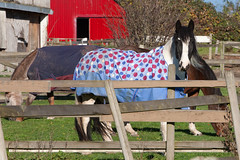 Horses_1537 (Mike Head - Jetwashphotos) Tags: morning autumn horses horse sunlight canada sunshine bc pacific britishcolumbia sunny delta pasture woodenfence ladner grazing westerncanada fallseason latemorning autumnseason southdelta pacificregion canadianwest deltamunicipality