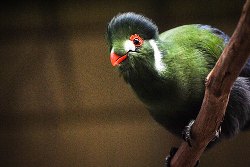 Indianapolis Zoo, White-Cheeked Turaco