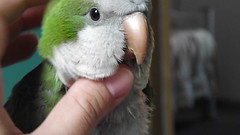(nathalia_silva_) Tags: sleeping green bird sleep yawn pssaro dormir sono bocejo