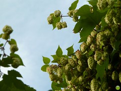 Mmm... beer... (petrOlly) Tags: autumn lake fall nature beer europa europe poland polska natura hop piwo jesień jezioro chmiel choszczno klukom klukomlake jezioroklukom