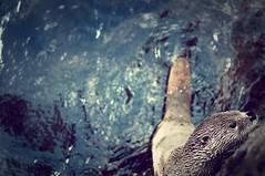 Otter (greghanover) Tags: oregon river bend wildlife otter