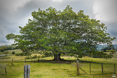 Old tree (BAN - photography) Tags: field clouds fence pasture oldtree paddock moretonbayfig mttambourine