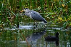 DSC00287 - Grey Heron (steve R J) Tags: heron abbey birds grey explore valley lea british waltham