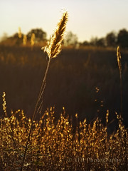 November grasses (VFR Photography) Tags: autumn fall nature field grass backlight rural countryside stem glow tn head tennessee country seed seeds heads stems fields glowing grasses gnat backlighting lateafternoon earlyevening gnats goldenlight spidersilk stewartcounty nearcumberlandcity cumberlandcityroad