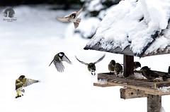 Dinner is ready (warmianaturalnie) Tags: winter snow bird nature birds dinner feeding