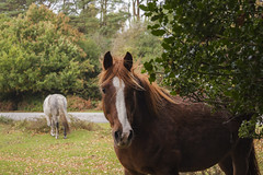 New Forest Pony (PoppyRobertson) Tags: england horse green animal animals forest canon photography nationalpark wildlife kitlens hampshire gb dslr amateur efs newforest beginner wildanimals 2013 newforestnationalpark talkphotography canoneos40d canon40d