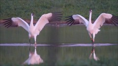 2013-12-19 Endangered Whooping Cranes after sunset (Tara Tanaka Digiscoped Photography) Tags: bird crane endangered rare digiscoped whoopingcrane mirrorless stx95