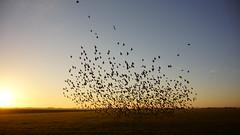 Zonsopkomst met een zwerm vogels 5-1-2014 Babylonienbroek (Walter van Ooijen) Tags: sun holland bird nature dutch birds sunrise landscape day sony nederland vogels natuur dag zon landschap noordbrabant andel zonsopkomst flickrsbest