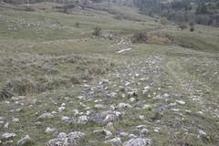 un sentiero di giaggioli (costagar51) Tags: italy italia natura sicily fiori palermo piante sicilia palazzoadriano bellitalia regionalgeographicsicilia rgsnatura