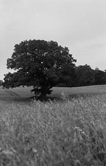 Zeiss Icon Ercona  BW  IlfordDelta100  Ek Hckeberga (Gustaf_E) Tags: old bw tree analog mediumformat skne oak sweden 120film 6x9 ek trd 646 bellow hckeberga ilforddelta100 svartvitt imacon mellanformat zeissikonercona
