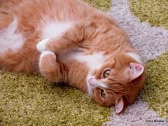 tilly (damselfly58) Tags: cat ginger furry feline funny chat gatos gatti