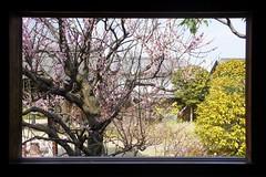 Cherry Blossom. Kyu-Hosokawa Gyobutei, Kumamoto.