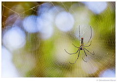 Golden silk orb-weaver (Den Boma Files) Tags: africa red brown plant black blur green net feet thread beautiful beauty animal yellow female forest mouth bug garden insect thailand outside golden spider leaf waiting cross legs web spin silk orb nobody creepy cobweb tropical species weaver dots capture impressive nephilapilipes goldensilkorbweaver