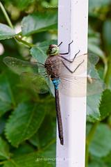 Dragonfly (em-si) Tags: macro nature austria österreich dragonfly natur kärnten carinthia makro libelle wernberg nikon105mmmicrovr nikond800