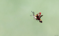 HMIMG_7258-2a-1 (Wildlife Paparazzi) Tags: inflight hummingbirdmoth frenchpark
