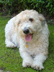 Diego (James Cottrell 1) Tags: dog pet fuji diego canine jackadoodle jackapoo xf1