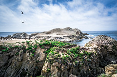 Bird Island @ Point Lobos (AliTalley) Tags: ocean california bird birds monterey carmel pointlobos nesting birdisland nestingbirds tpslandscape tpsseascape brandtcormorants