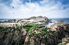 Bird Island @ Point Lobos (AliTalley) Tags: ocean california bird birds monterey carmel pointlobos nesting birdisland nestingbirds tpslandscape tpsseascape brandtcormorants
