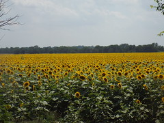 Field of sunflowers, Fannin County, Texas (gurdonark) Tags: county flowers sun fleur field texas blumen sunflowers fannin