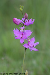 Calo-8606-j (Chris Davidson Photography) Tags: orchids wildflowers calopogontuberosus nativeorchids grasspink
