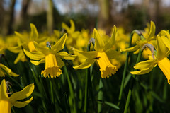 Kleur-61 (Nickz3) Tags: 2016 clingendael denhaag earlyspring vroegvoorjaar narcissen voorjaar