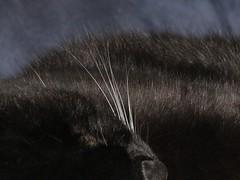 white whiskers (muffett68 ) Tags: ansh scavenger4 first whitewhiskers lbc littleblackcat bgc