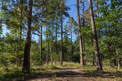 Summer's gone (Petr Skora) Tags: borovice les strom nature forest summer path tree trees blue green shadow woods czechrepublic