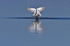 Thalasseus acuflavidus (Luiz Baroni Junior) Tags: 2012 ano apadeguapimirim aves baiadeguanabara cidade guapimirim lugares riodejaneiro trintarisdebandothalasseusacuflavidus