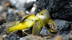 DSC_2491 (miwin) Tags: ecuador galapagos nature bird fighting fauna outdoor bokeh depthoffield dof yellowwarbler