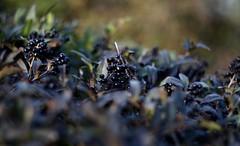 My favorite fall berries (Klaudia D. P.) Tags: nature fall berry berries plant plants blue black colors colorful colours green bokeh dof closeup depht 50mm beautiful autumn
