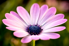 osteospermum (LoomahPix) Tags: london nature outdoors outside uk beautiful beauty flora flower garden hanwell natural osteospurmum pink purple spring