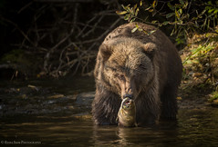 Eye-to-Eye (rishaisomphotography) Tags: kodiak alaska deepnorth mammal bear brownbear grizzly predator carnivore omnivore wildlife wildlifephotography nature naturephotographer water river fish fishing usfws knwr