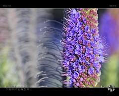 Colours of Spring 2016 (tomraven) Tags: flower macro flowermacro purple colours colors spring bokeh dof tomraven aravenimage q42016 nikon1 j5 sooc