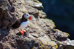 Puffin Bird _4900 (hkoons) Tags: latrabjargcliffs westfiords westfjords iceland latrabjarg bay birds cliff feathers fiord fjord flight fly inlet island nest nests north peninsula puffin puffins saltwater sea seabirds water wings