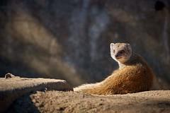 Yellow mongoose (rondoudou87) Tags: mangouste mongoose parc zoo reynou wild wildlife sauvage pentax k1 nature natur