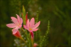 Delicate Pink (Edinburgh Photography) Tags: nature outdoors landscape flowers plants edinburgh botanical gardens nikon d7000