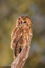 Tawny Owl D75_5708.jpg (Mobile Lynn) Tags: owls tawnyowl birds nature captive bird fauna strigiformes strixaluco wildlife nocturnal ringwood england unitedkingdom gb coth specanimal