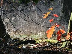 Red (polletjes) Tags: red rood rouge rot oranje orange wood bos wald bois mist fog herfst sfeer sferen herbst autumn groen green ver natuur buiten outside rhenen nederland netherlands grebbeberg