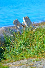 By The Sea (Neal D) Tags: bc surrey crescentbeach beach driftwood beachgrass