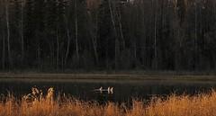 Bottoms Up (jack4pics) Tags: alaska fall ducks feeding unison lake