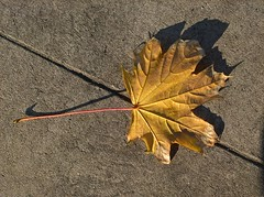 WP_20161118_08_59_19_Pro (vale 83) Tags: autumn leaf microsoft lumia 550 wpphoto wearejuxt colourartaward coloursplosion thebestyellow lunaphoto autofocus friends