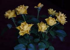 DSC_3184 (PeaTJay) Tags: nikond750 reading lowerearley berkshire macro micro closeups gardens indoors nature flora fauna plants flowers rose roses rosebuds