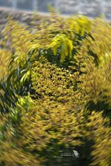 _DSC3281_ROLL_LOGO (Ray 'Wolverine' Li) Tags: tree sapindaceae asia nature city hongkong green flower flowers
